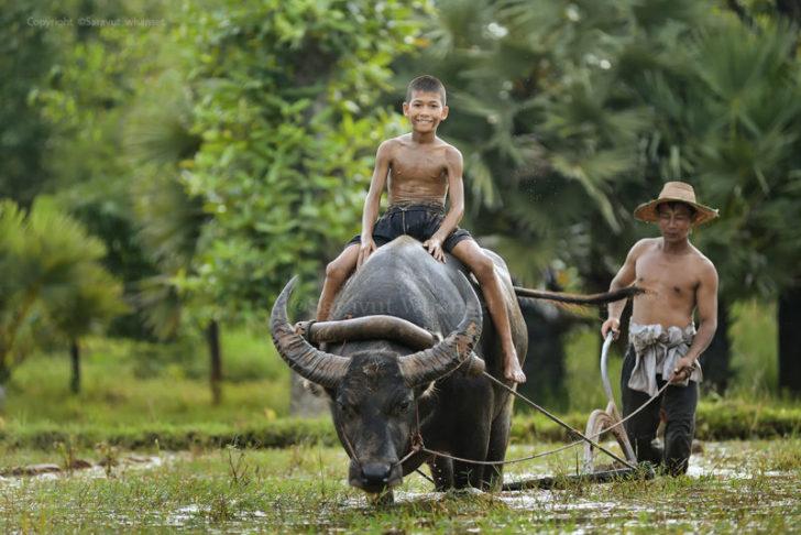 タイの水牛 (ควาย コヮーイ)
